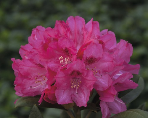 Rhododendron boule Rhododendron degronianum ssp. yakushimanum ''Sneezy'' H30-40cm Co 5l