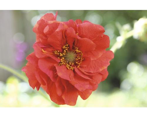 Benoîte commune Flora Self Geum ''Chil Mrs Bradshaw'' H 20-60 cm Co 3 L