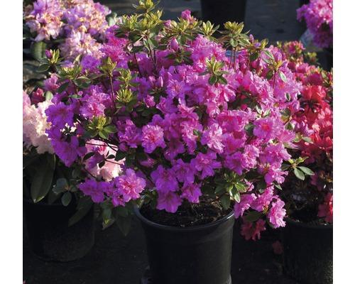 Azalée du Japon Rhododendron obtusum ''Rosinetta'' ® H20-30 cm Co 3 L