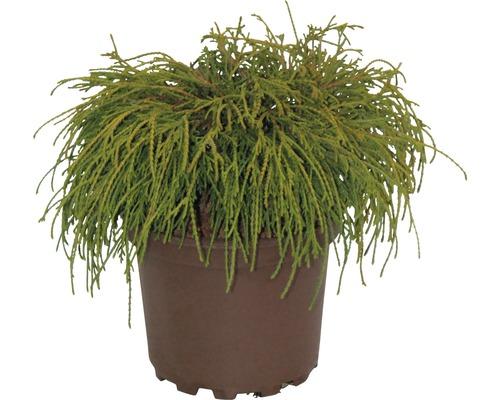Faux cyprès de Sawara FloraSelf Chamaecyparis pisifera ''Filifera Nana'' H20-25cm Co 2L