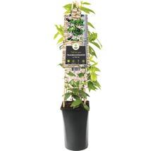 Sternjasmin FloraSelf Trachelospermum asiaticum ''Pink Air'' H 50-70 cm Co 2,3 L-thumb-1