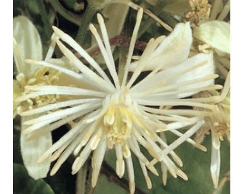 Waldrebe FloraSelf Clematis vitalba H 53-70 cm Co 2,3 L