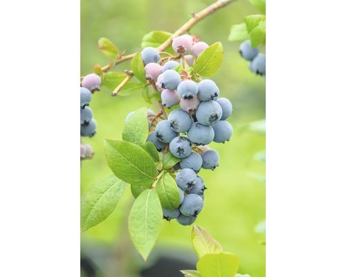 Myrtille arbustive Hof:Obst Vaccinium corymbosum ''Bluecrop'' H30-40cm Co 3,4L