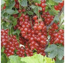 Groseillier rouge Hof:Obst Ribes rubrum ''Rondom'' H30-40cm Co 3,4L-thumb-0