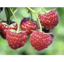 Framboisier estival Hof:Obst Rubus idaeus ''Tula Magic'' ® H30-40cm Co 3,4L-thumb-1