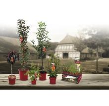 Framboisier estival Hof:Obst Rubus idaeus ''Tula Magic'' ® H30-40cm Co 3,4L-thumb-2