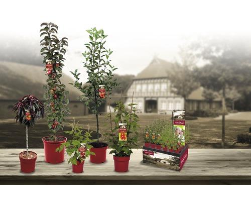 Myrtille arbustive Hof:Obst Vaccinium corymbosum ''Jersey'' h 30-40 cm Co 3,4 l-0