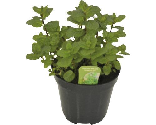 Menthe marocaine FloraSelf Mentha spicata ''Marocchina'' H 10-13 cm Co 1,2 l