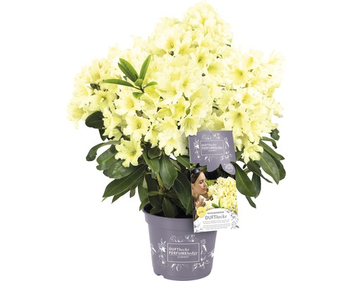 Rhododendron pour sol calcaire Rhododendron Inkarho® ''Dufthecke Gelb'' H25-30cm Co 5l