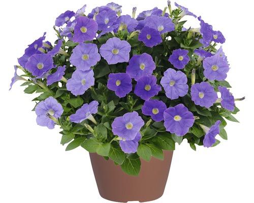 Pétunias retombants Blue Ray FloraSelf® pot de 12, bleu