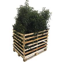 Portugiesischer Kirschlorbeer FloraSelf Prunus lusitanica 'Angustifolia' H 80-100 cm Co 10 L (25 Stk) 1 Palette-thumb-0