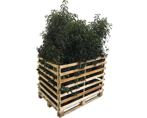 Portugiesischer Kirschlorbeer FloraSelf Prunus lusitanica ''Angustifolia'' H 80-100 cm Co 10 L (25 Stk) 1 Palette