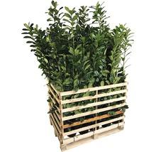 50 x Kirschlorbeer, Lorbeerkirsche FloraSelf Prunus laurocerasus ''Caucasica'' H 60-80 cm Co 5 L für ca. 17 m Hecke-thumb-1