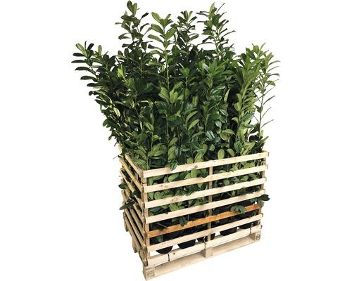 50 x laurier-cerise FloraSelf Prunus laurocerasus 'Caucasica' H 60-80 cm Co 5 L pour une haie d'environ 17 m