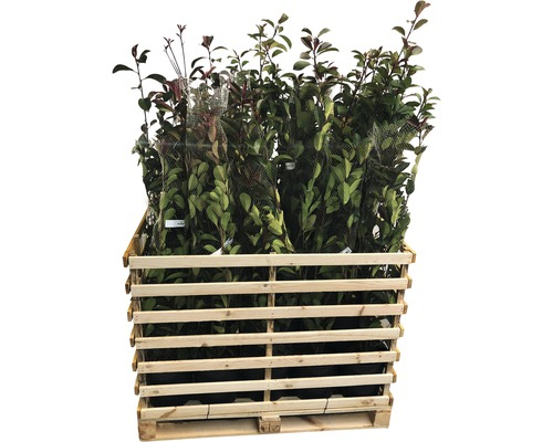 23 x photinies FloraSelf Photinia fraseri ''Red Robin'' h 80-100 cm Co 10 l pour une haie d''env. 9 m