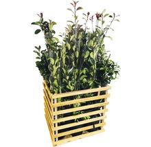 12 x photinies FloraSelf Photinia fraseri ''Red Robin'' h 80-100 cm Co 10 l pour une haie d''env. 5 m-thumb-1
