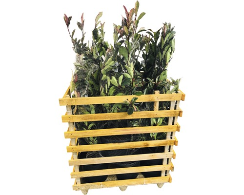 12 x photinies FloraSelf Photinia fraseri ''Pink Marble'' h 80-100 cm Co 10 l pour une haie d''env. 5 m