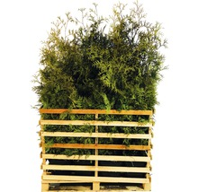 15 x Lebensbaum FloraSelf Thuja occidentalis 'Brabant' H 125-150 cm ClickCo für ca. 7,5 m Hecke-thumb-0