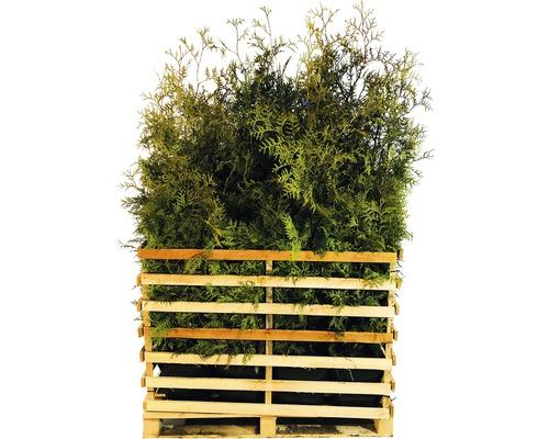 15 x Lebensbaum FloraSelf Thuja occidentalis 'Brabant' H 125-150 cm ClickCo für ca. 7,5 m Hecke-0