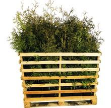 35 x Lebensbaum FloraSelf Thuja occidentalis ''Brabant'' H 80-100 cm ClickCo für ca. 14 m Hecke-thumb-0