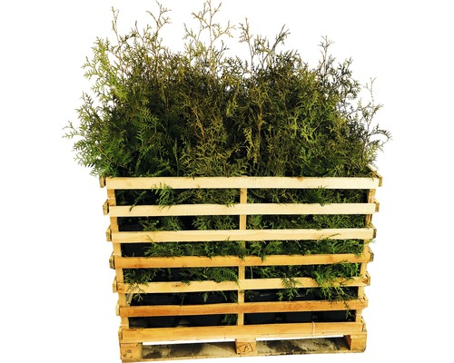 35 x Lebensbaum FloraSelf Thuja occidentalis ''Brabant'' H 80-100 cm ClickCo für ca. 14 m Hecke-0