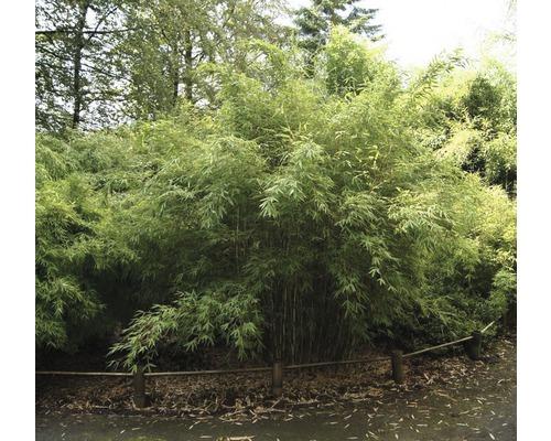 Bambou de jardin Standing Stone 80-100 cm