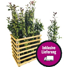 12 x photinies FloraSelf Photinia fraseri ''Red Robin'' h 80-100 cm Co 10 l pour une haie d''env. 5 m-thumb-0