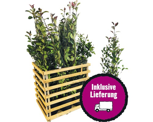 12 x photinies FloraSelf Photinia fraseri ''Red Robin'' h 80-100 cm Co 10 l pour une haie d''env. 5 m