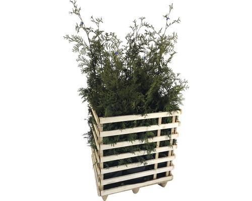 6 x Lebensbaum FloraSelf Thuja occidentalis ''Brabant'' H 125-150 cm ClickCo für ca. 3 m Hecke