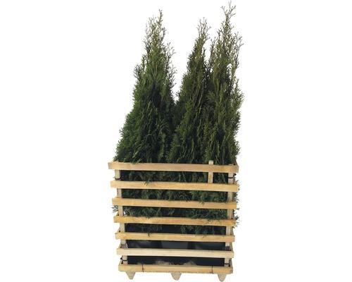 6 x Lebensbaum FloraSelf Thuja occidentalis ''Smaragd'' H 125-150 cm ClickCo für ca. 3 m Hecke
