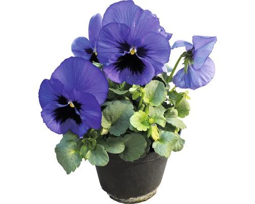 Pensées FloraSelf Viola wittrockiana pot Ø 12 cm assorti