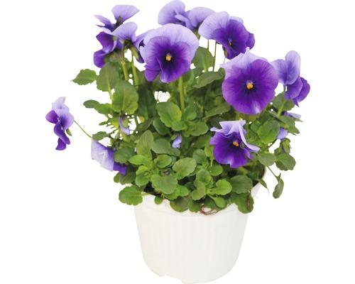 Violette cornue FloraSelf Viola cornuta pot Ø 12 cm assorti