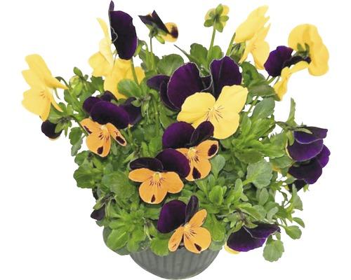 Violette cornue Viola cornuta pot Ø 12 cm assorti