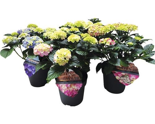 Hortensia FloraSelf Hydrangea macrophylla h25-30cm Co 5l assorti