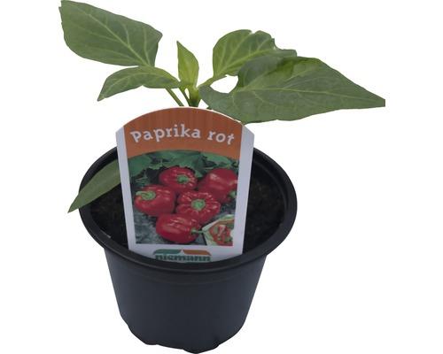 Poivron carré rouge Capsicum annuum pot Ø 9 cm