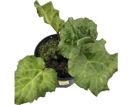 Rhubarbe FloraSelf Rheum-Rhabarbarum pot Ø 19 cm
