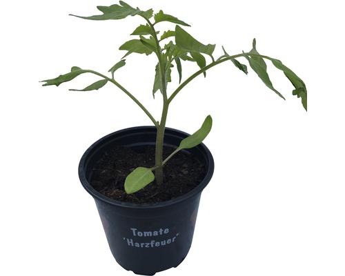 Tomate à tuteur FloraSelf Lycopersicon esculentum ''Harzfeuer'' pot Ø 9 cm