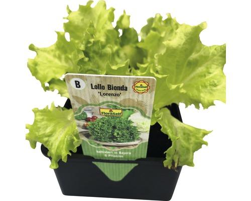 Salade ''Lollo Bionda'' FloraSelf Letuca sativa lot de 6