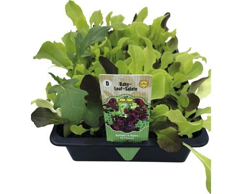 Salade à couper FloraSelf Lactuca sativa ''Baby Leaf'' 20 unités