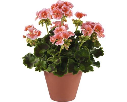 Géraniums droits FloraSelf Pelargonium zonale pot Ø 12 cm