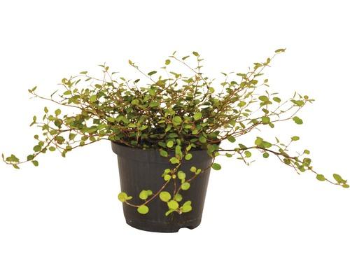 Muehlenbeckia FloraSelf Muehlenbeckia axillaris pot de 12