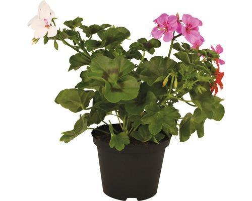 Géranium suspendu FloraSelf Pelargonium peltatum ''Rainbow Trio'' pot Ø 12 cm