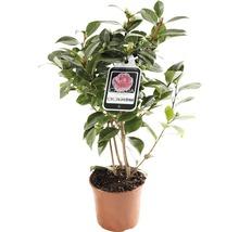 Camélia du Japon FloraSelf Camellia japonica ''Mix'' h 30-40 cm Co 1,5 l assorti-thumb-0