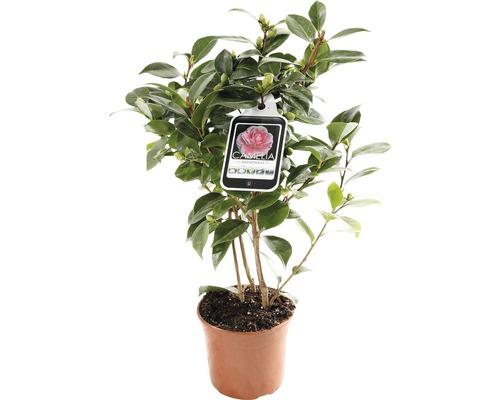 Japanische Kamelie FloraSelf Camellia japonica ''Mix'' H 30-40 cm Co 1,5 L zufällige Sortenauswahl