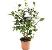 Camélia du Japon FloraSelf Camellia japonica ''Mix'' h 30-40 cm Co 1,5 l assorti-thumb-1