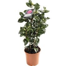 Camélia du Japon FloraSelf Camellia japonica ''Mix'' h 30-40 cm Co 1,5 l assorti-thumb-2