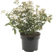 Viorne-tin FloraSelf Viburnum tinus H 30-40 cm Co 5 l-thumb-0