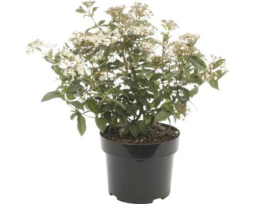 Mittelmeer Schneeball FloraSelf Viburnum tinus H 30-40 cm Co 5 L
