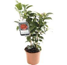 Camélia du Japon FloraSelf Camellia japonica ''Mix'' h 30-40 cm Co 1,5 l assorti-thumb-3