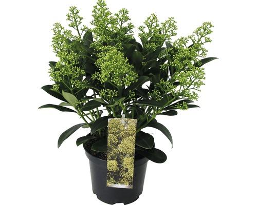 Japanische Blütenskimmie FloraSelf Skimmia japonica ''Finchy'' H 15-20 cm Co 1,5 L